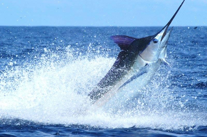 Los Suenos Marlin