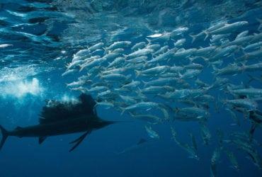 marlin-deep-seamount