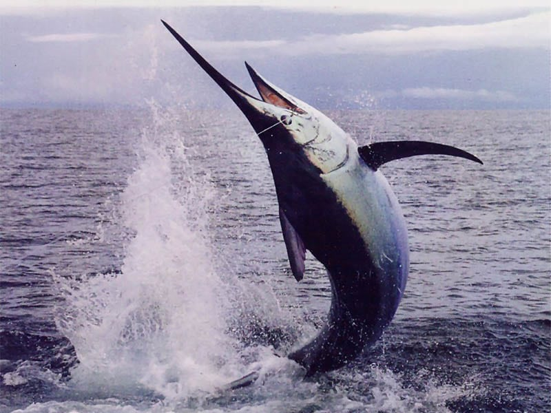Marlin Fishing Los Suenos