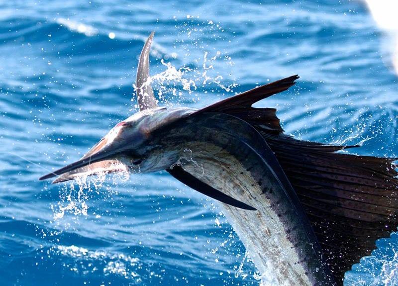 sailfish-los-suenos-4