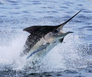 sea-mount-costa-rica-marlin